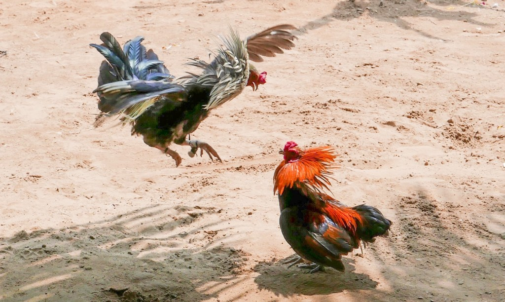 Meelelahutusäri Vietnami küla moodi võib tähendada ka kukevõitlust.